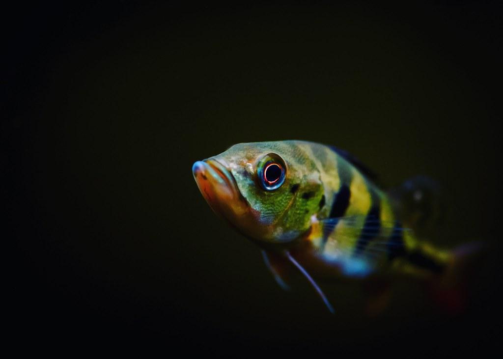 Juvy Peacock Bass