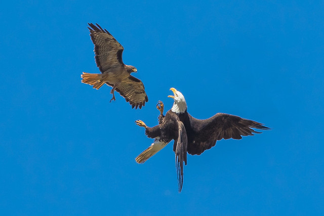 Bald Eagle vs Red-tailed Hawk (X75_9154-1)