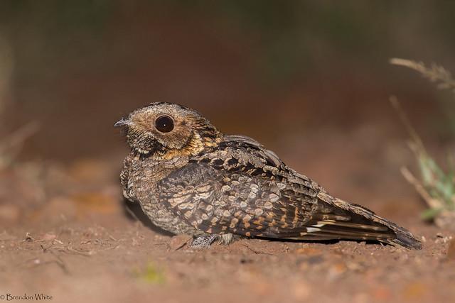 Fiery-necked Nightjar (Caprimulgus pectoralis)
