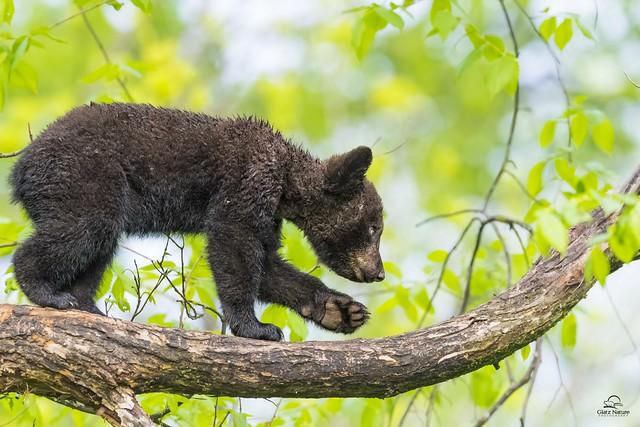 Wet Black Bear Navigates Wet Tree