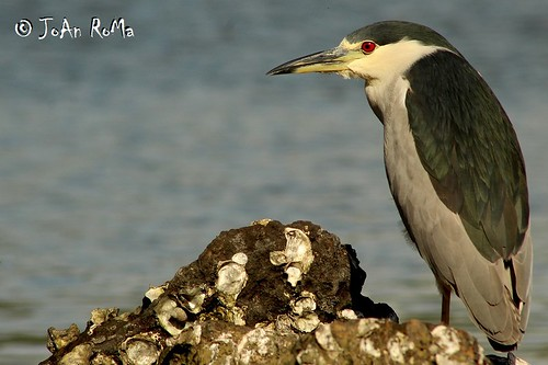 Black-crowned Night-Heron - Garza Nocturna Corona Negra (Nycticorax nycticorax) | by JoAn RoMa