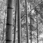 Bamboo Forest Shades