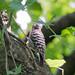 コゲラ(Japanese Pygmy Woodpecker)