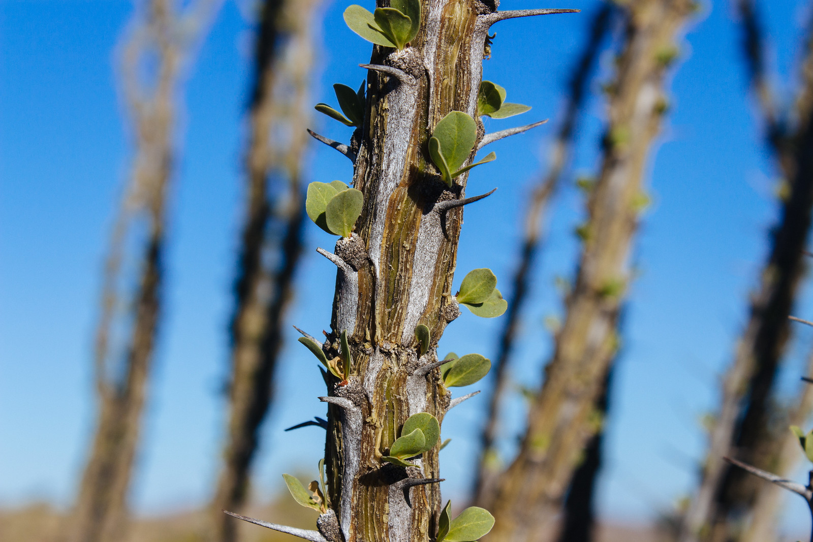 Focus on one of several branches of an ocotillo plant with spikes, leaves, and green bark