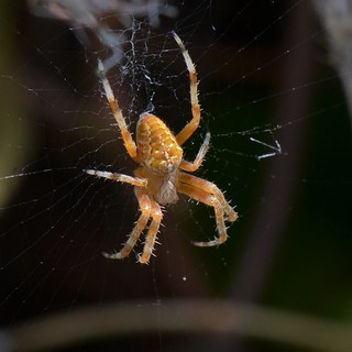 Epeire - Spider