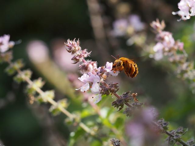 Australian Native Teddy Bear Bee