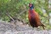 Fazant (Common Pheasant) by Thornspic