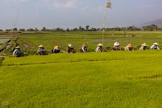 Planting rice, Repiquage du riz