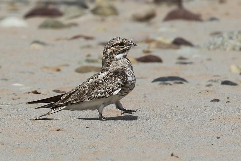 Sand-colored Nighthawk / Chotacabras Arenisco (Chordeiles rupestris)