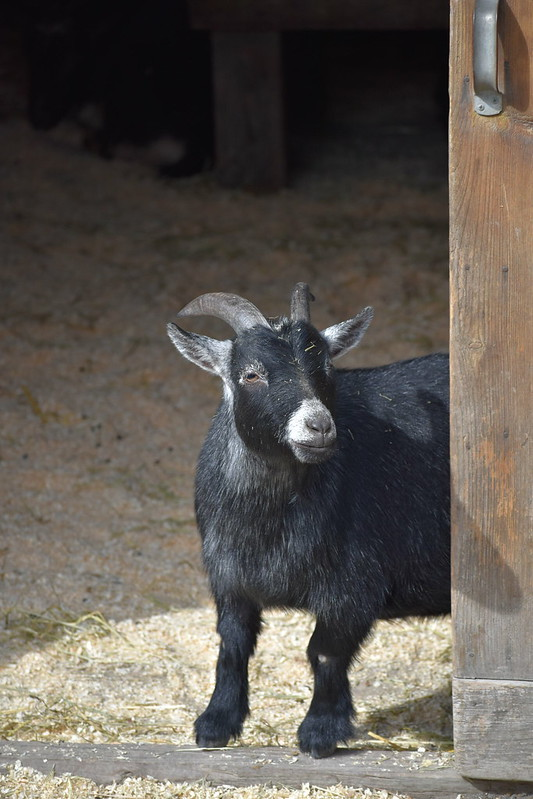 goat peekaboo