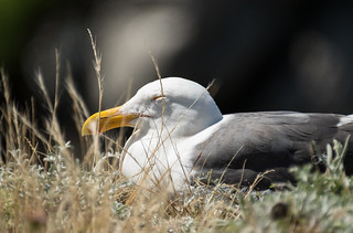 Sleepy Gull | by Justin Dolske