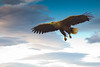 White Tailed Eagle by David in SK6
