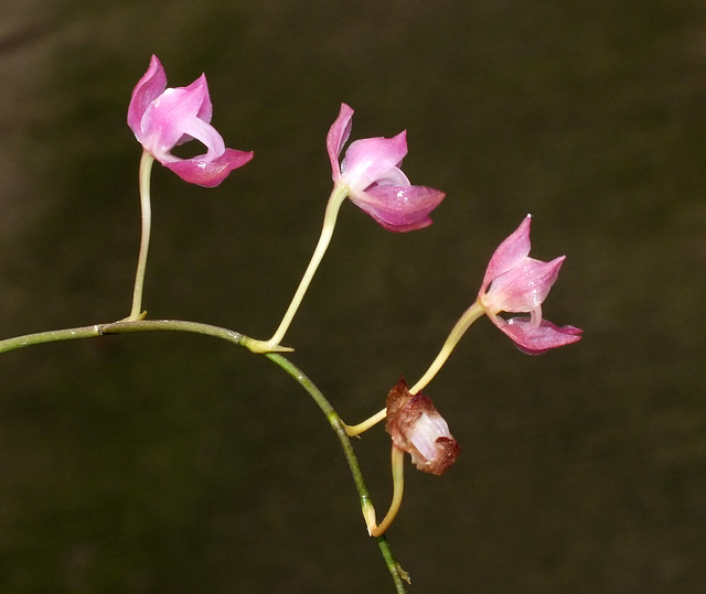 Blood red orchid (Symphyglossum sanguineum) inflorescence flowers