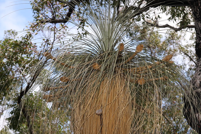 Kingia australis - bullanock, Porongurup National Park, South Western Australia