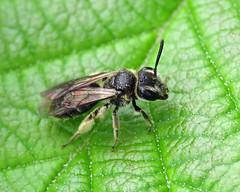 Impunctate Mini-miner - Andrena subopaca