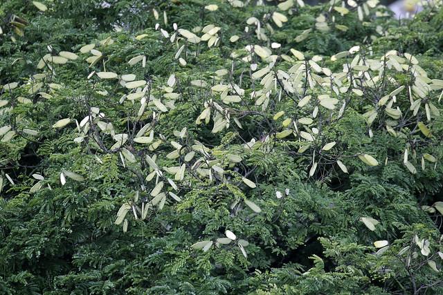 Seeds Tree