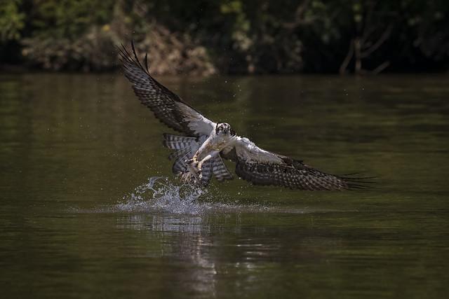 Fishing Osprey...{Explored}