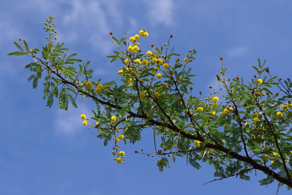 Akazie Karroo Sweet Thorn Acacia Karroo Hen Magonza Flickr