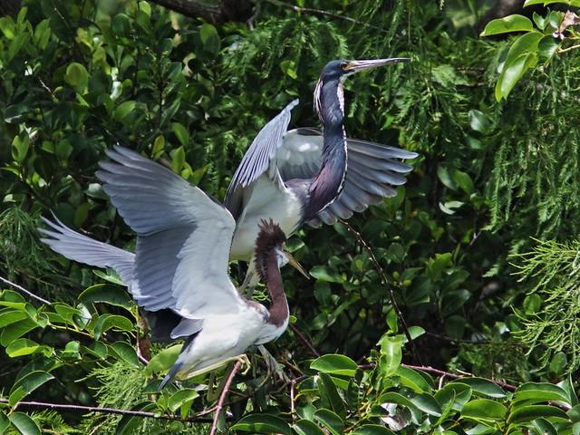 Tricolored Heron demands feeding 092-20170612