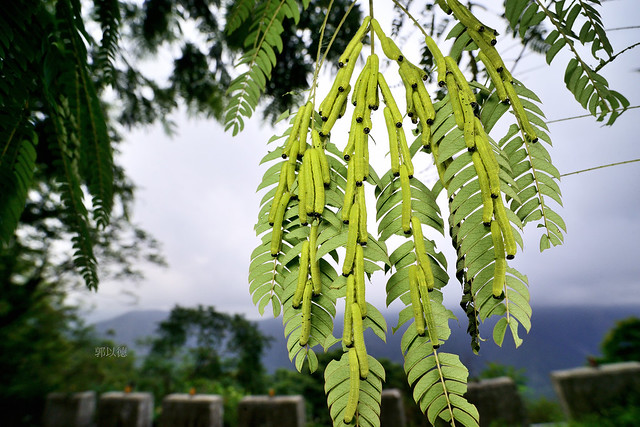 _JUN3218亮色黃蝶(臺灣黃蝶)Eurema blanda arsakia終齡幼蟲