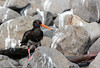 Variable Oystercatcher by Stewart M