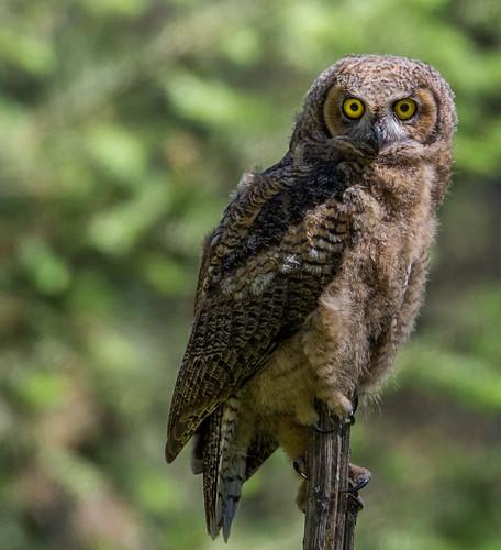 greathornedowl hornedowl owl bubovirginianus bubo tigerowl hootowl strigidae typicalowl trueowl nigelje kettleriver
