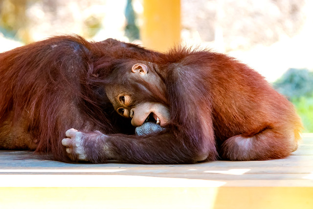 Orangutan's Mother and Child (Kiki and her son Riki) : オランウータンの母子