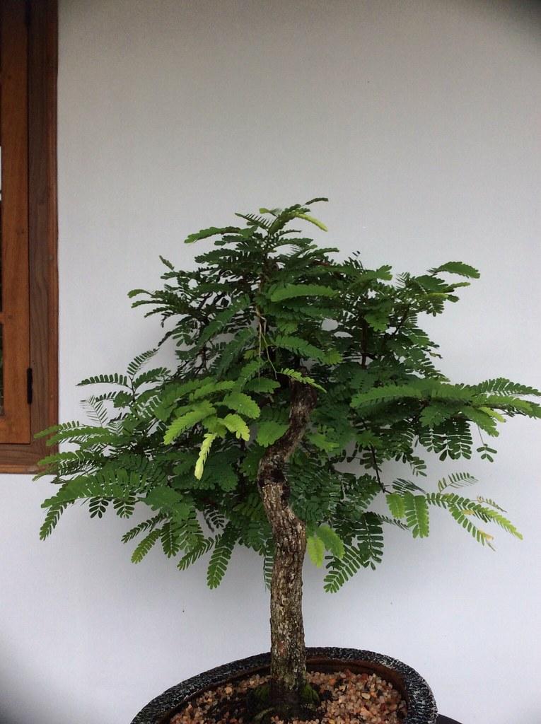 Tamarind bonsai ten years training -