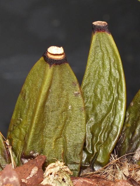 Harrison's orchid (Bifrenaria harrisoniae) pseudobulbs