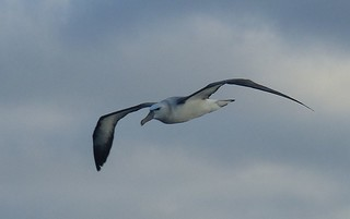 Albatross | by curtisfrommichigan