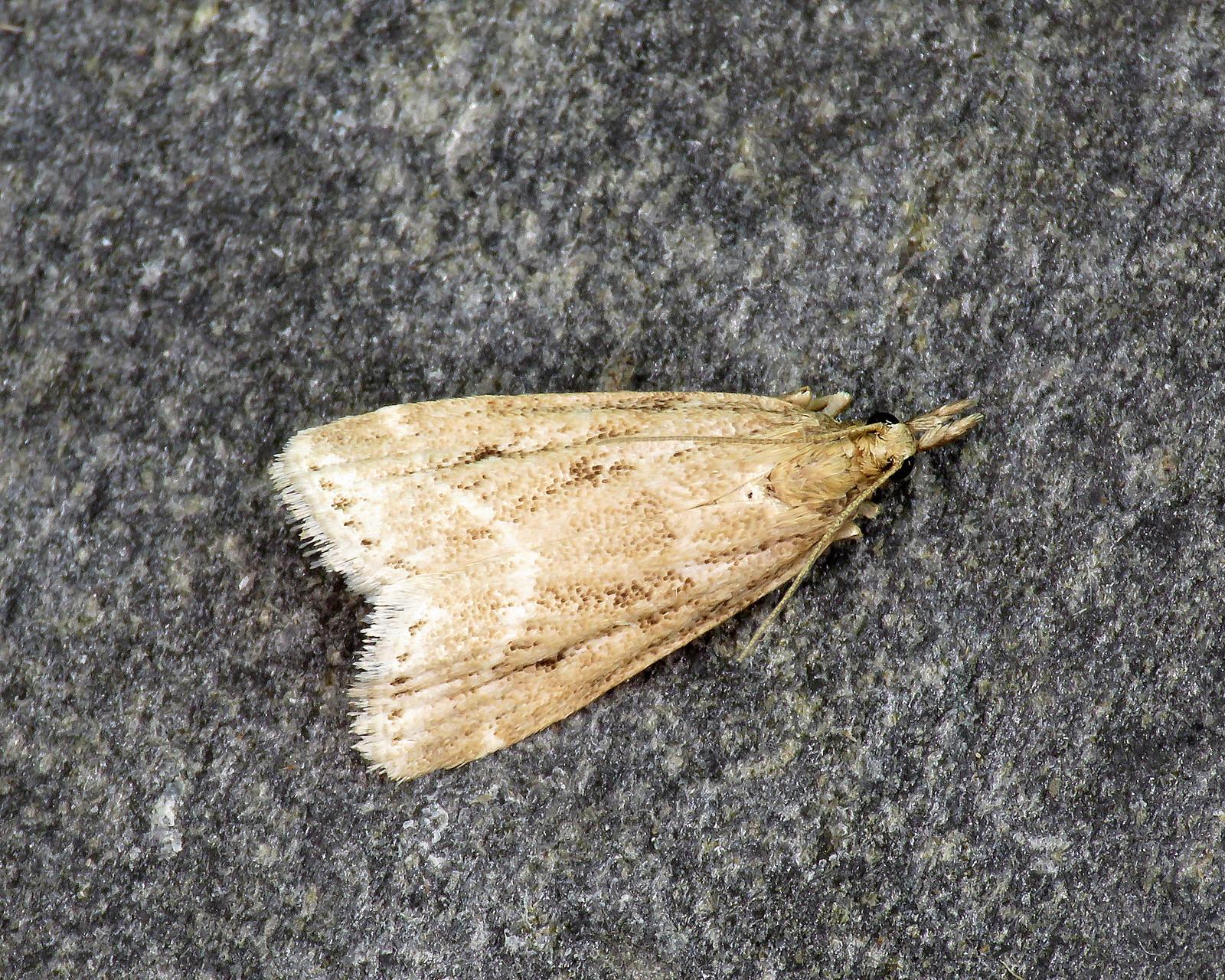 63.075 Eudonia pallida
