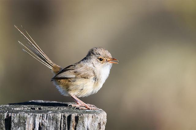 small bird series: very talkative ♀ superb fairy wren