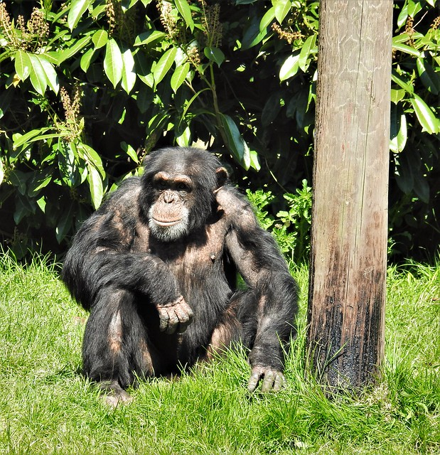 Chimpanzee.. 'People Watching' - Chester Zoo