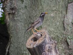 2017/05/31 (水) - 12:57 - ムクドリの巣