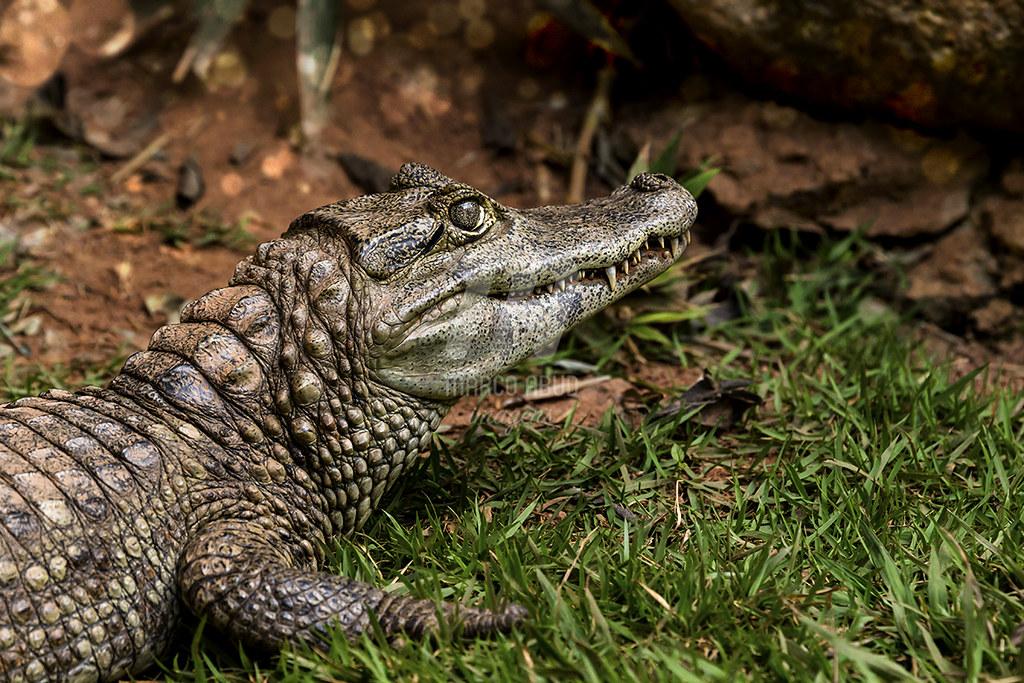 Ou é Jacaretinga   Caiman crocodylus ou é Jacaré do Pantanal   Caiman yacare