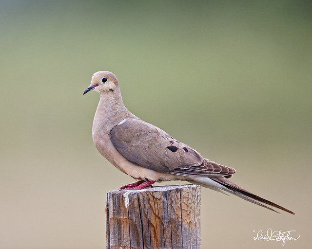 Mourning Dove Poses On Post