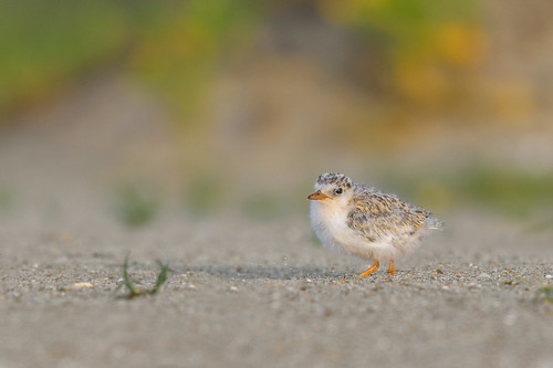 leasttern baby wild sand wildlife sternulaantillarum vegetation nature belmar belmarbeach chick beach tern babybird bird shore newjersey unitedstates us nikon d500