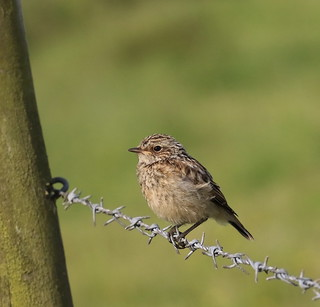 Young Whinchat | by themadbirdlady