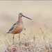 Long Billed Dowitcher by Daniel Behm Photography