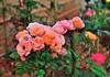 水頭64號民宿(鳳毛麟趾二舘)驚豔的玫瑰花園