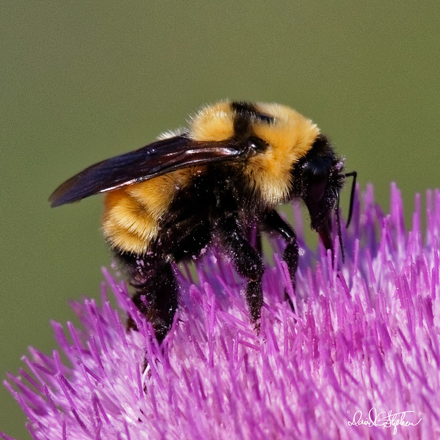 Close up of bumblebee covered with pollen
