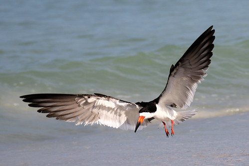 black skimmer landing stpete beach bird shore wildlife nature 7dm2 canon