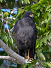 Great Black-hawk (Buteogallus urubitinga) Pantanal, Mato Grosso, Brazil 2017 by Ricardo Bitran
