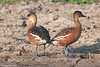Wandering Whistling-duck - Dendrocygna arcuata by arthurgrosset