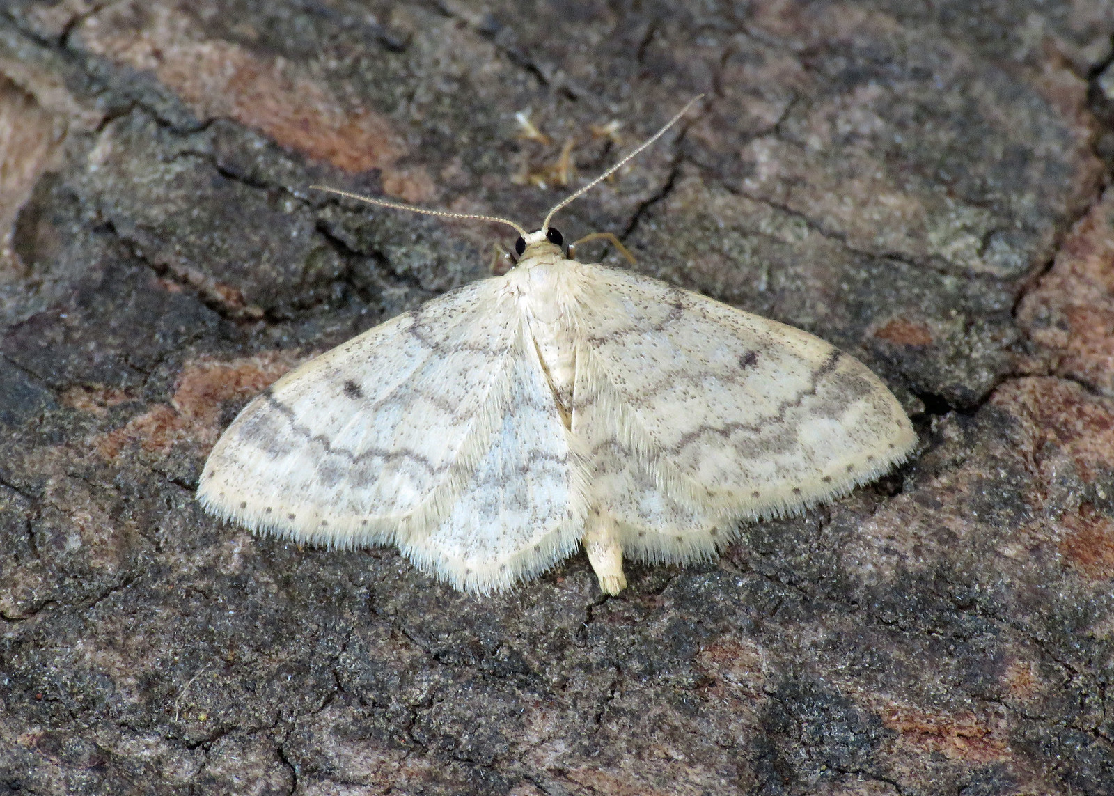 70.013 Small Fan-footed Wave-  Idaea biselata