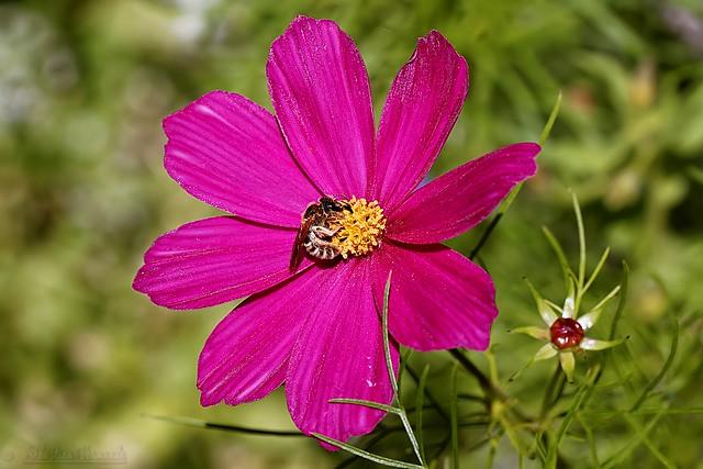 Forager bee on Cosmos flower - Abeille butineuse sur fleur Cosmos