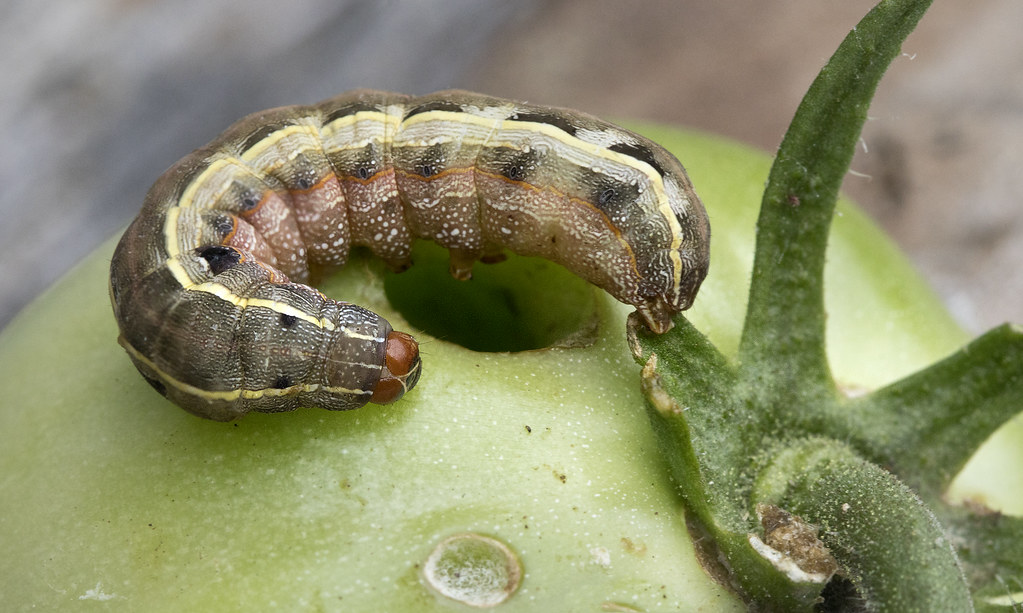 Tomato fruitworm earworm insect caterpillar larvae stage | Flickr