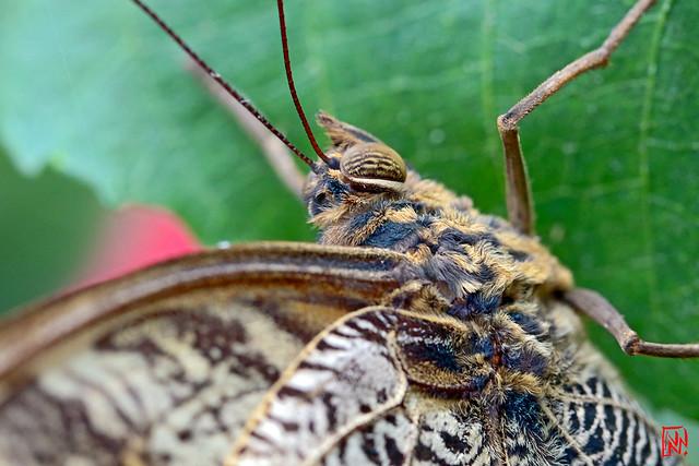 Caligo atreus ou papillon hibou
