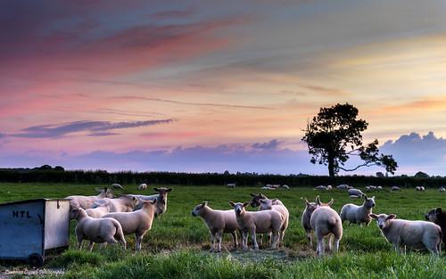 landscape sunset sheep northyorkmoors northernengland farm nikond5