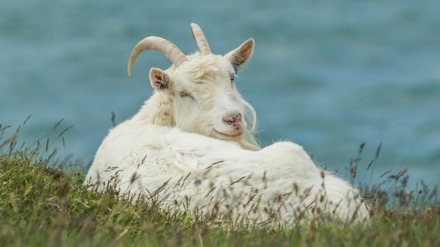 Happy Mountain Goat ...